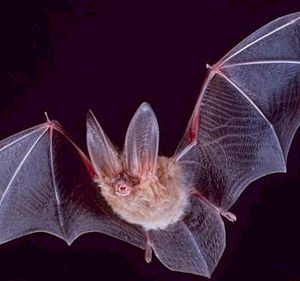 300px-Square-townsend-fledermaus