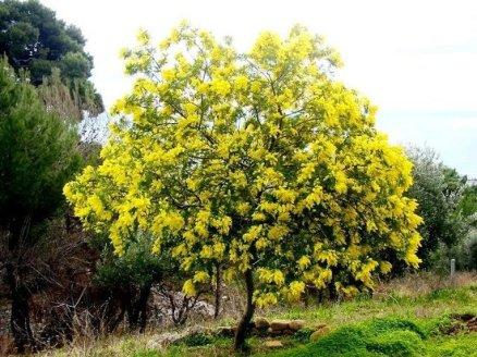 le-mimose-di-falanga