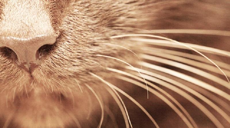 vibrisse-gatti
